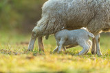 Mother feeding young lambs on pasture, early morning in spring. - 201076332