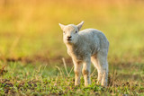 Cute young lamb on pasture, early morning in spring. - 201076511