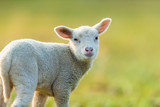 Cute young lamb on pasture, early morning in spring. - 201076527