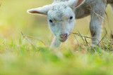 Cute young lamb on pasture, early morning in spring. - 201076551