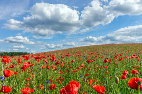 Fototapety, obrazy : Flowers, Poppy field, Spring landscape