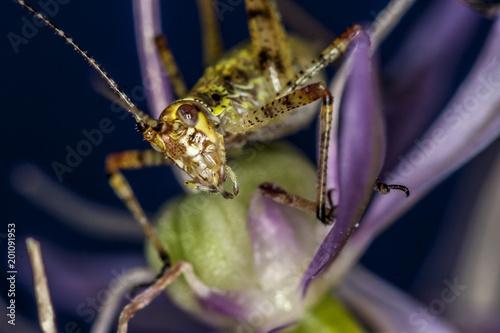 Foto Murales Katydid on flower in garden