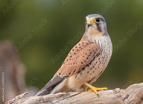 portrait of a common kestrel (Falco tinnunculus) perched on a trunk and green background