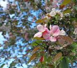 arbre en fleurs  - 201095374