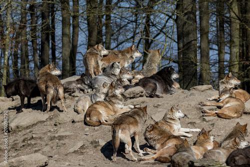 Foto Murales Wolfsrudel