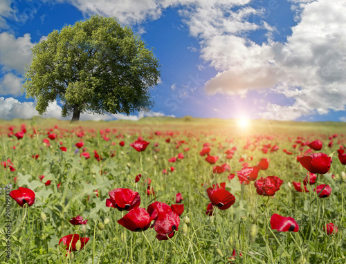 drzewa maku pojedyncze niebieskie niebo wiosną tle