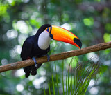 Toucan sitting on the branch in tropical forest of Brazil - 201101545