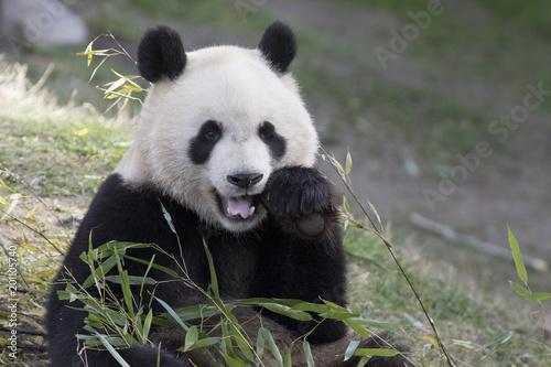 Fotobehang Panda Oso panda comiendo bambu