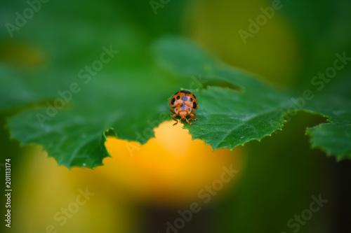 Foto Murales Ladybug Closeup