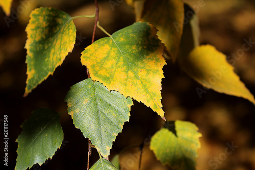Birch branches with colorful autumn leaves in sunlight.  - 201117549
