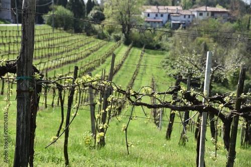Fotobehang Khaki Conegliano, Treviso, Veneto, Italia, Vitigni per la produzione di vino prosecco