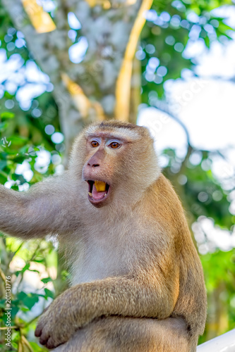 Fotobehang Aap Monkey- macaque on a tree branch close-up, Thailand