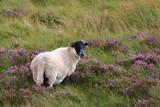 Black headed lamb in moorland - 201132720