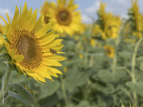 Tuinposter Honing Sunflower field