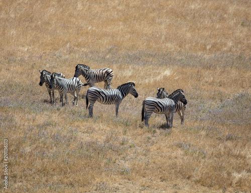 Zebras in the Grass