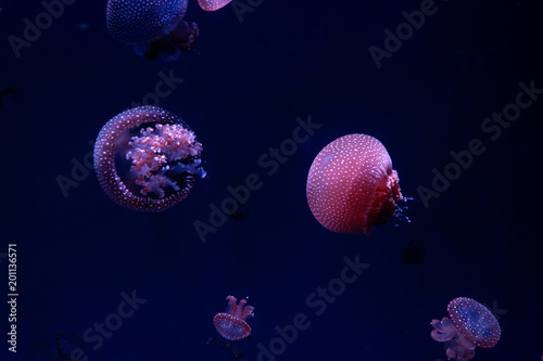 Fototapeta Jellyfishes moving in nature background.