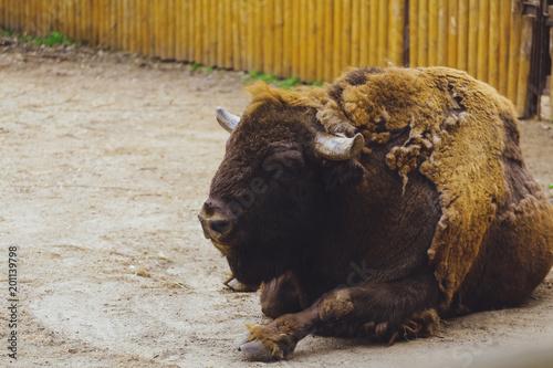 Aluminium Bison American bison (buffalo) portrait.