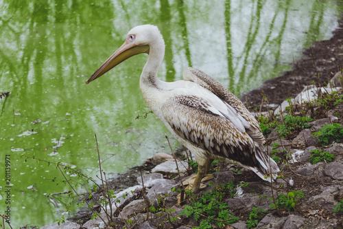 One Pelican bird
