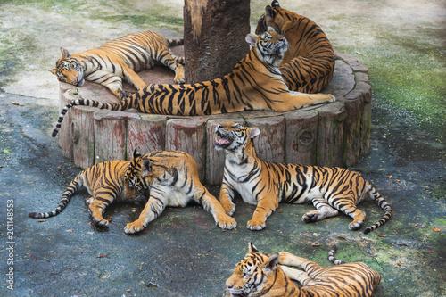 grupa tygrysów bengalskich odpoczywających