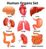 Realistic human organs set anatomy - 201151313