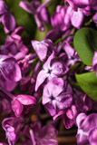 Lilac flowers background - 201161193