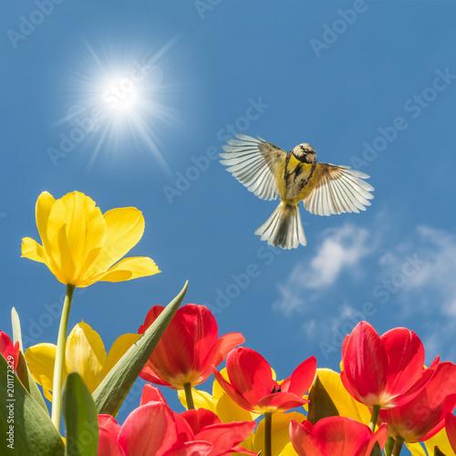Leinwanddruck Bild Endlich Frühling! Blaumeise fliegt über blühende Tulpen