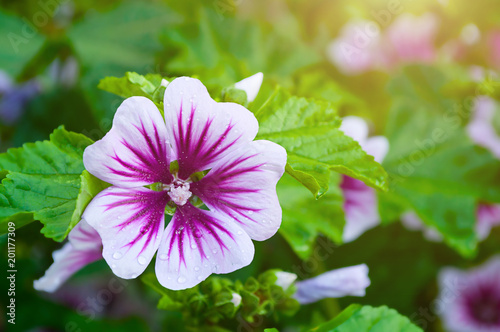 Mallow flower of forest mallow - flower background - 201177309