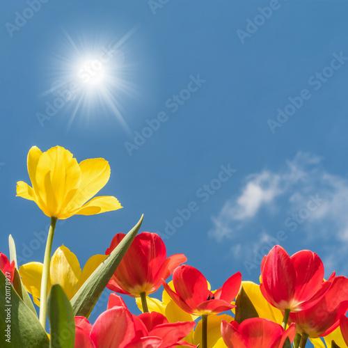 Leinwanddruck Bild Gelbe und rote Tulpen leuchten in voller Farbenpracht in der Mittagssonne unter blauem Himmel - endlich Frühling!