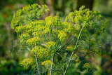 Yellow flowers of dill (Anethum graveolens). Close up. - 201179367