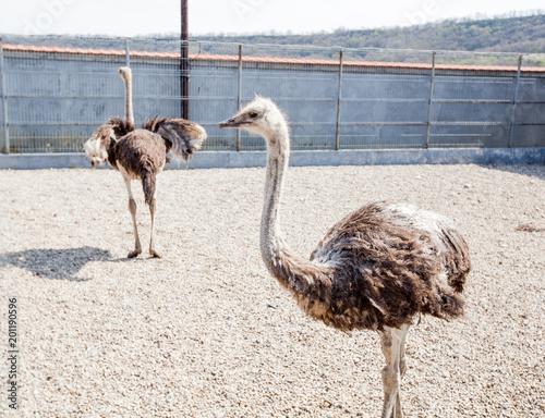 Foto Murales Ostrich in the ZOO
