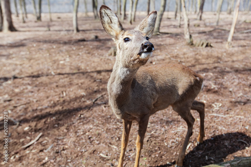 Foto op Canvas Natuur Young deer in forest