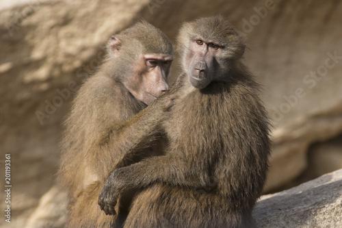 Dos babuinos se desparasitan