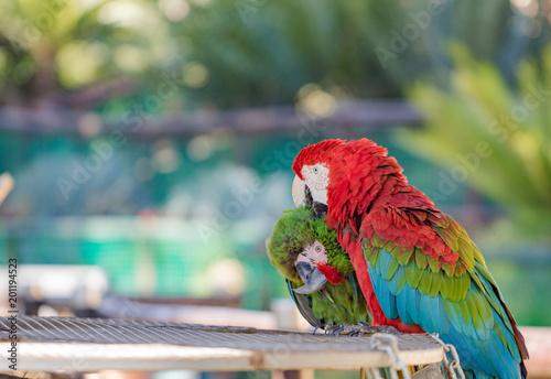 Plexiglas Papegaai Scarlet & Military Macaw