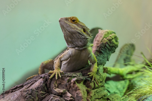 pogona drago barbuto