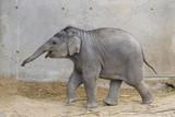 Bebe de elefante  asiatico