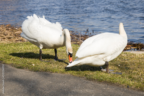 Two white swans on the beach