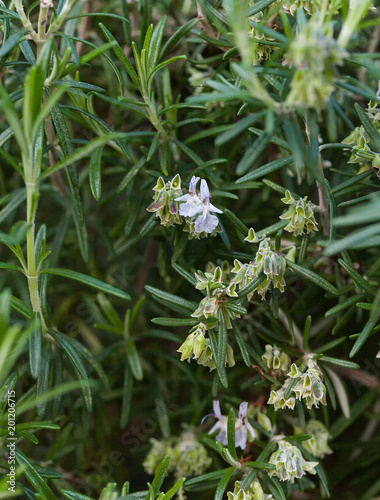 Fresh Rosemary Herb grow outdoor.
