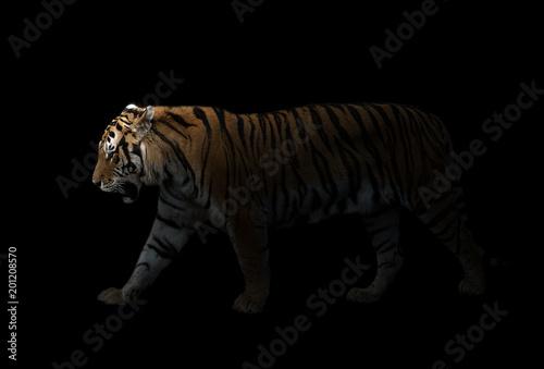 męski tygrys syberyjski w ciemności