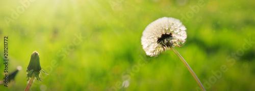Dandelion isolated on green.