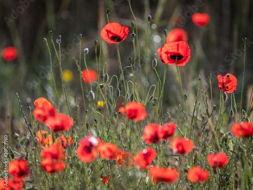Red flowers blooming in the wild- Spring season Israel
