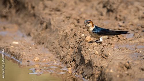 Foto Murales Isolated Barn Swallow Bird- Israel