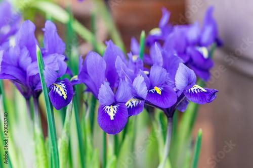 Aluminium Iris blue potted irises closeup, flowers in spring garden..