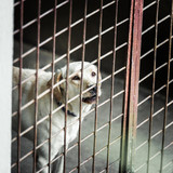 White dog locked in a cage