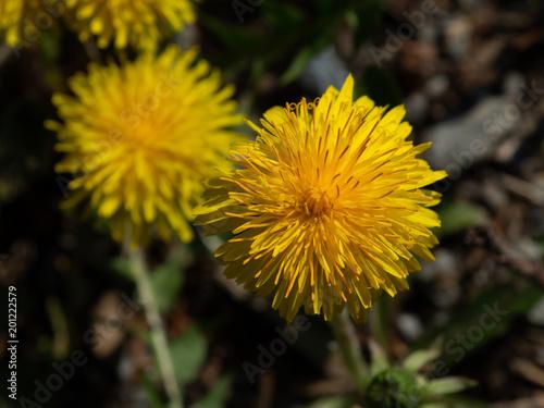 Löwenzahnblüte - 201222579
