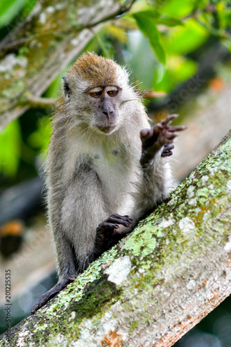 Foto Murales Long-tailed Macaque in the wild