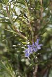 Rosemary herb in bloom - 201237939