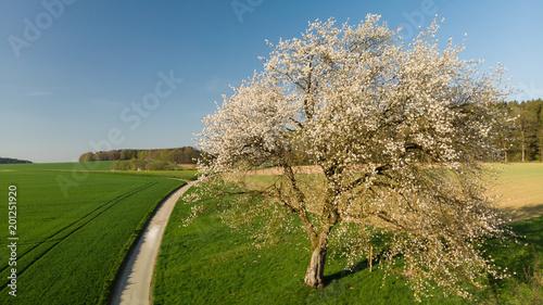 Foto Murales Blühender Baum im Frühling