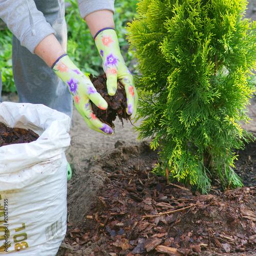 Foto Murales Planting plants step by step / ornamental shrub Thuja Golden Smaragd - mulching bark