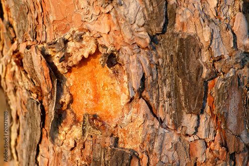 Close up view of organic bark of old pine tree texture. Nature wood background. - 201270103