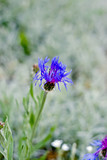 One blue cornflower in spring